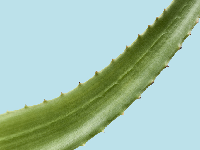 Aloe Vera leaf over a light blue background
